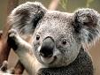 Avatar Koala
